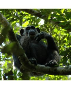 Berggorilla's en chimpansees, afbeelding 4